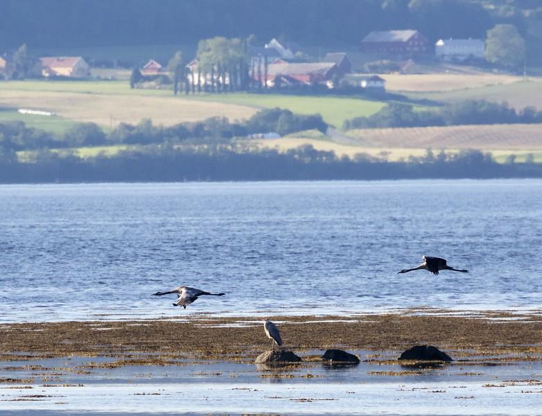 Common Cranes and Gray Heron