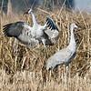 Dancing Sandhill Cranes