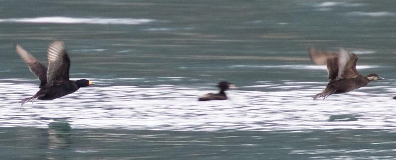 Male and female Black Scoter in flight, Prince William Sound