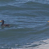 Black Scoters, Pigeon Point Lighthouse, San Mateo County, 2-9-2013