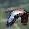 Black-bellied Whistling Duck in Flight