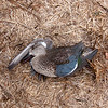 Female Blue-winged Teal (deceased)
