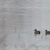 A Pair of Blue-winged Teal on the water in the fog