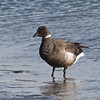 Brant at Jetty Road, Moss Landing, 1-1-2013