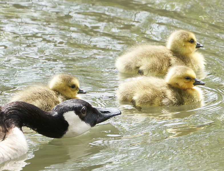 Canada Goose Parent with Goslings