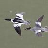 Common Mergansers in Flight, Coyote Lake CP, Santa Clara County, 5-April-2014