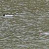 Male and Female Common Merganser - Fishing, Stevens Creek County Park, 5-April-2013
