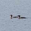Common Merganser, Bodega Bay, Sonoma County, 2-16-2013