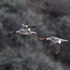 Common Mergansers in Flight