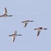 Common Mergansers flying over the Copper River Delta