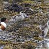 Common Shelduck Mom and Chicks (Tadorna tadorna)
