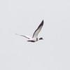 Common Shelduck in Flight