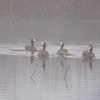 Greater White-fronted Geese Swimming through the Fog