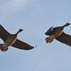 Greater White-fronted Geese (adult and juvenile)