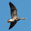 Greater White-fronted Goose In Flight, Colusa NWR, Colusa County, CA, 8-Dec-2013