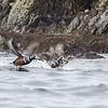 Harlequin Ducks taking Flight.  Prince William Sound