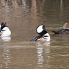 Hooded Mergansers at Reflection Lake, La Honda, San Mateo County, 1-6-2013