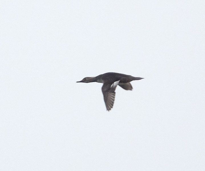 Female Hooded Merganser Flying in the Fog