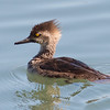 Hooded Merganser (First Spring Male)