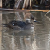 First Spring Male Hooded Merganser, Reflection Lake, La Honda, San Mateo County, 1-6-2013