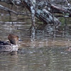 First Spring Male Hooded Merganser on Left with Female Adult on Log, Reflection Lake, La Honda, San Mateo County, 1-6-2013