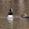 Male and Female Hooded Merganser, Reflection Lake, La Honda, San Mateo County, 1-6-2013