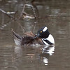Preening Male Hooded Merganser, Reflection Lake, La Honda, 1-6-2013
