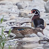 Male and Female Wood Duck, Gilroy Hotsprings Road, Santa Clara County, 6-Apr-2013