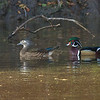 Wood Ducks, Sausal Pond, Windy Hill OSP, San Mateo County, CA, 29-Oct-2011