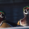 Wood Ducks at the Water Treatment Plant at Neary Lagoon