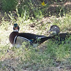 Wood Ducks, San Antonio Valley Road, Santa Clara County