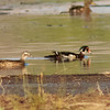 Male and Female Wood Duck, KRP