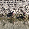 Wood Duck, Stevens Creek Reservoir