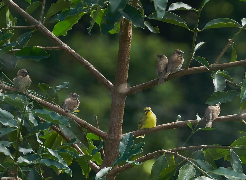 Yellow-fronted Canary with Scaly-breasted Munias