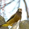 Evening Grosbeak - Male, Downtown Los Altos, 2012-12-20
