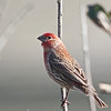 Male House Finch, Pillarcitos Creek Mouth, Half Moon Bay