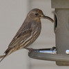 House Finch with growth on lower mandible