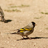Lawrence's Goldfinch at KRP