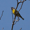 Lawrence's Goldfinch - Ed Levin County Park (Spring Valley Picnic Area)