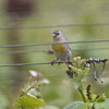 Female Lawrence's Goldfinch, Dunne-San Felipe Rd., Santa Clara County, 6-Apr-2013