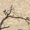 Lawrence's Goldfinches, Mines Road, Santa Clara County