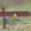 Male Lawrence's Goldfinch, Dunne-San Felipe Rd., Santa Clara County, 6-Apr-2013