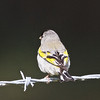 Male Lawrence's Goldfinch, Mines Road, Alameda County