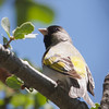 Lawrence's Goldfinch (male), Del Puerto Canyon, Stanislaus County, CA, 10-May-2014