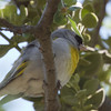 Lawrence's Goldfinch (female), Del Puerto Canyon, Stanislaus County, CA, 10-May-2014