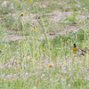 A Pair of Lawrence's Goldfinches, Joseph D Grant County Park, 29-March-2014