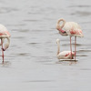 A Group of Greater Flamingos