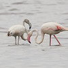 Juvenile and Adult Greater Flamingos