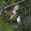 Ash-throated Flycatachers