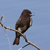 Black Phoebe (rare in this location)